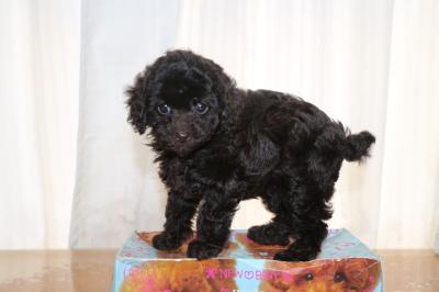 タイニープードルブラウンの子犬メス、生後7週間画像