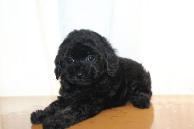 トイプードルブラック(黒)の子犬メス、生後7週間画像