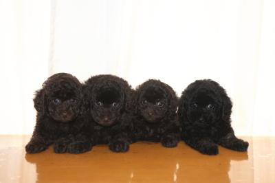 トイプードルの子犬、ブラウンオス2頭メス1頭ブラック(黒)メス1頭、生後7週間画像