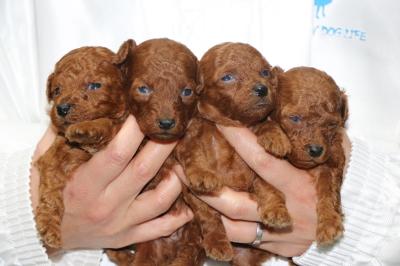 タイニープードルレッドの子犬オス1頭メス3頭、生後3週間画像