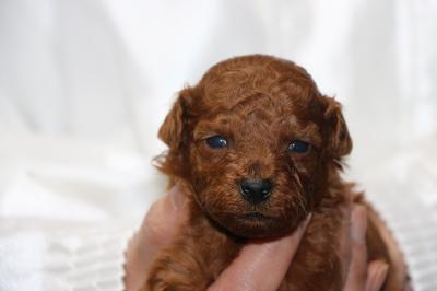 タイニープードルレッドの子犬オス、生後3週間画像