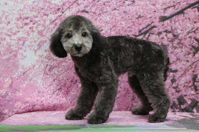 トイプードルシルバーの子犬オス、東京都町田市ハル君画像