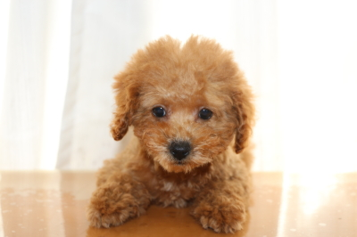 トイプードルレッドの子犬メス2頭、生後2ヵ月半画像