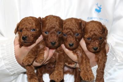 トイプードルレッドの子犬オス1頭メス3頭、生後4週間画像