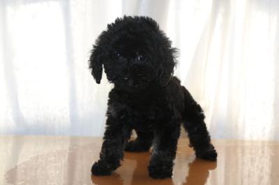 トイプードルブラック(黒)の子犬メス、生後2ヵ月画像