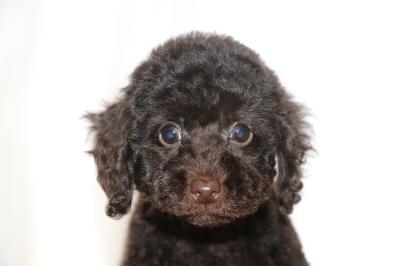 トイプードルブラウンの子犬オス、生後2ヵ月画像