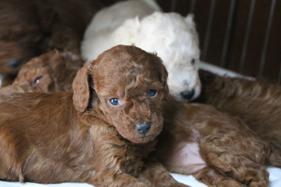 トイプードルホワイト(白)のレッドの子犬、生後1ヵ月画像