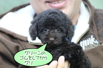 トイプードルブラウンの子犬オス、東京都新宿区グリ君画像