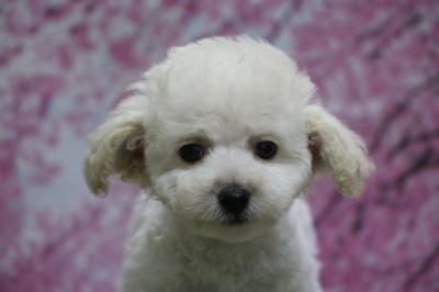 タイニープードルホワイト(白)の子犬メス、千葉県酒々井町ハピちゃん画像