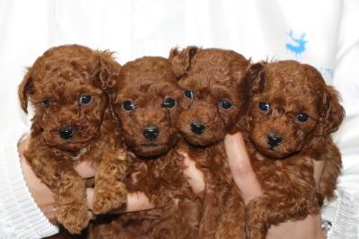 トイプードルレッドの子犬オス1頭メス3頭、生後5週間画像