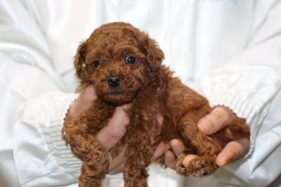 トイプードルレッドの子犬オス1頭、生後5週間画像