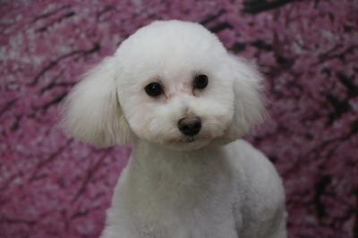 トイプードルホワイト(白)の子犬オス、東京都小平市ハル君画像