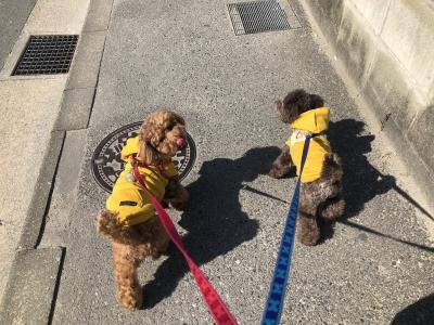トイプードルレッドとブラウンの多頭飼い、福岡県福岡市ばんざい&やったー君画像