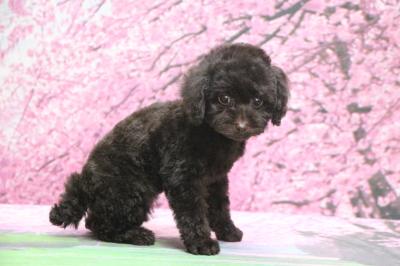 トイプードルブラウンの子犬メス、千葉県柏市さちちゃん画像