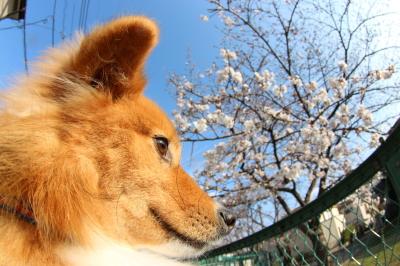 ペットホテル千葉県ミックス犬のトマトちゃんfrom鎌ヶ谷市画像