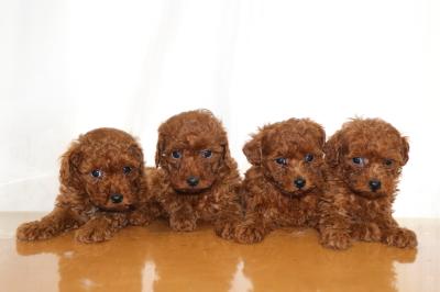 トイプードルレッドの子犬オス1頭メス3頭、生後6週間画像