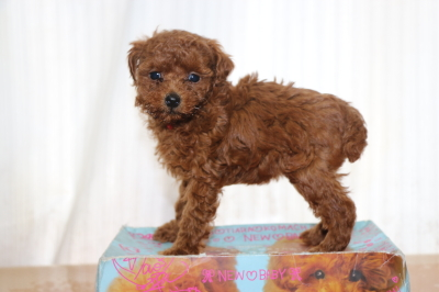 ティーカッププードルレッドの子犬メス、生後6週間画像