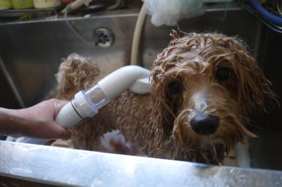 千葉県市川市のミックス犬炭酸泉画像