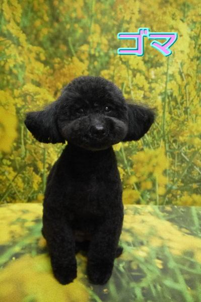 vトイプードルブリーダーの成犬,トリミング画像