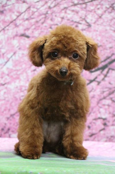 トイプードルレッドの子犬オス、東京都目黒区ラム君画像