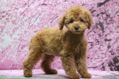 東京都豊島区トイプードルレッドの子犬メス、アンちゃん画像