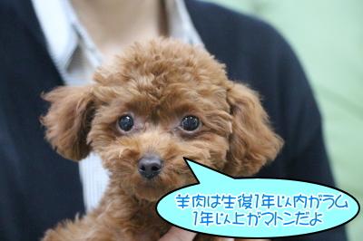 タイニープードルレッドの子犬オス、東京都目黒区、ラム君画像