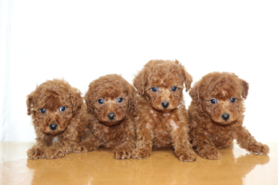 トイプードルレッドの子犬オス1頭メス3頭、生後7週間画像