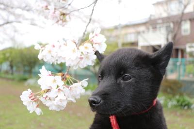 ペットホテルin千葉県、甲斐犬の団子君from千葉県船橋市画像