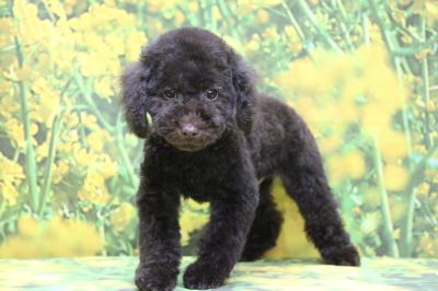 トイプードルブラウンの子犬オス、東京都台東区ベル君画像