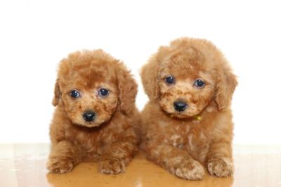 トイプードルレッドの子犬メス2頭、生後7週間画像