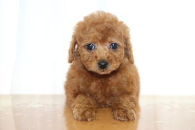 タイニープードルレッドの子犬メス、生後7週間画像