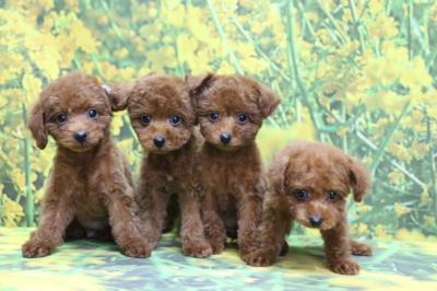 トイプードルレッドの子犬オス1頭メス3頭、生後2ヵ月画像