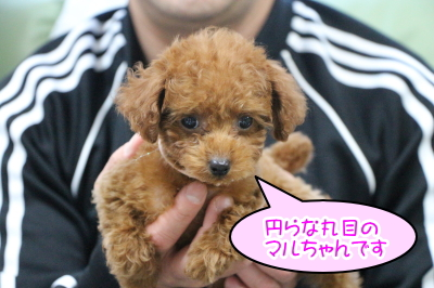 タイニープードルレッドの子犬メス、千葉県船橋市マルちゃん画像