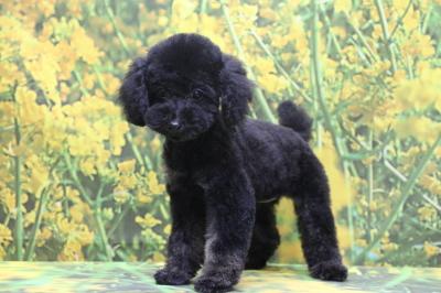 トイプードルブラック(黒)の子犬メス、千葉県印西市ルルちゃん画像