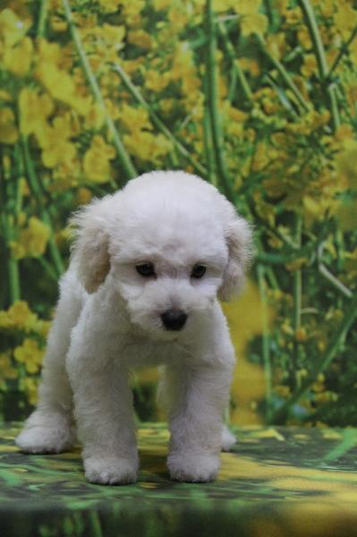トイプードルホワイト(白)の子犬メス、神奈川県川崎市レオナちゃん画像