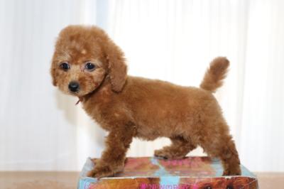 トイプードルレッドの子犬メス2頭、生後2ヵ月画像