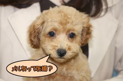 トイプードルレッドの子犬メス、宮城県仙台市メルちゃん画像