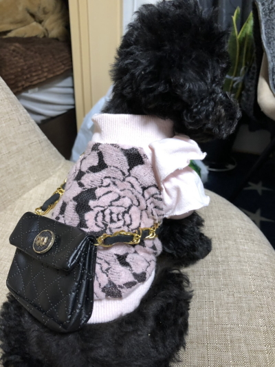 トイプードルブラック(黒)の子犬メス、茨城県守谷市オミちゃん画像