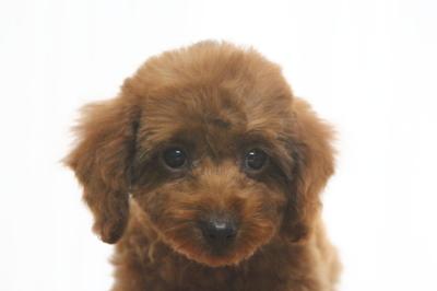 トイプードルレッドの子犬メス、生後2ヵ月半画像