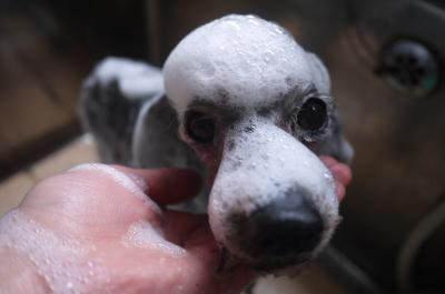 トイプードルブリーダーの子犬、シャンプー画像