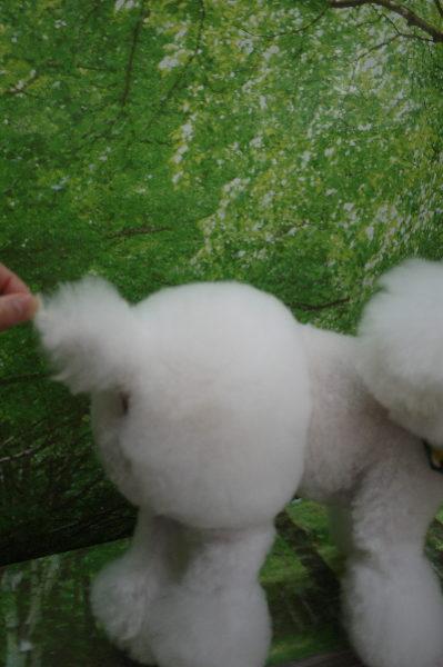 トイプードルブリーダーの子犬,デザインカット画像