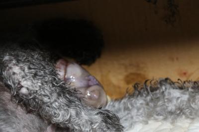 トイプードルホワイト(白)産まれたばかりの子犬画像
