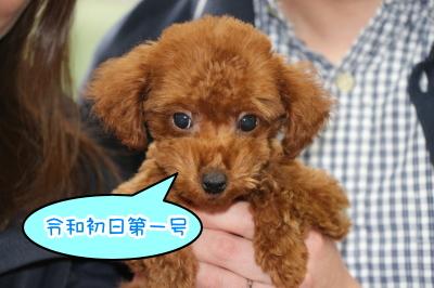 トイプードルレッドの子犬オス、茨城県土浦市マロウド君画像