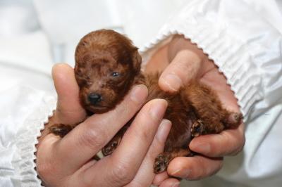 ティーカッププードルレッドの子犬メス、生後3週間画像