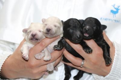 トイプードルホワイト(白)オス2頭シルバーオス2頭、生後1週間画像