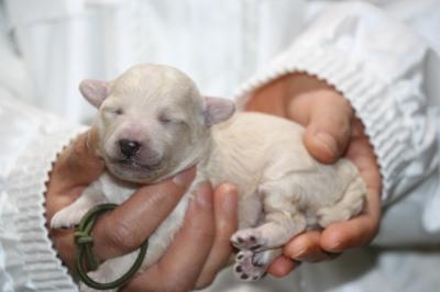 トイプードルホワイト(白)の子犬オス、生後1週間画像