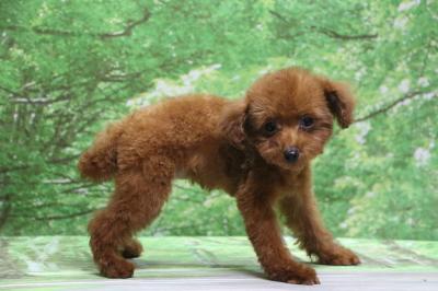 ティーカッププードルレッドの子犬メス、神奈川県横浜市メイちゃん画像