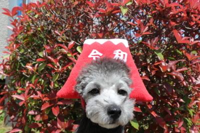ペットホテルin千葉県トイプードルエイト君from神奈川県横浜市画像