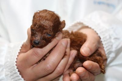 ティーカッププードルレッドの子犬、生後4週間画像