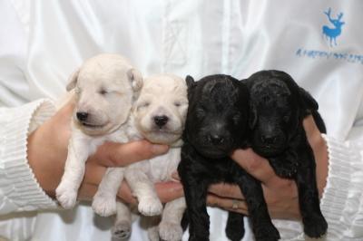 トイプードルホワイト(白)オス2頭シルバーオス2頭、生後2週間画像